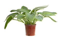 Stock Photo of isolated plant of a blue hosta