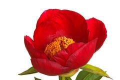 Single red peony flower on white Stock Photos