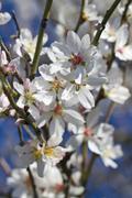 almond tree blossoms - stock photo