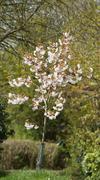 Snowdrop Tree at rest - stock photo