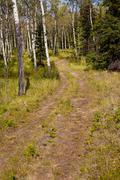 trail in aspen forest - stock photo