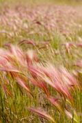 Foxtail barley Stock Photos
