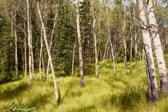 northern aspen forest - stock photo