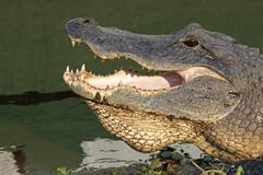 head of an american alligator - stock photo