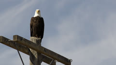 Bald eagle looking for prey from pole Stock Footage
