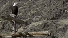 Bald eagle sitting on pole Stock Footage