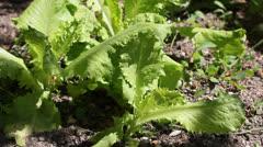 Salad leaves Stock Footage