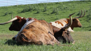 Stock Video Footage of Three Texas Longhorns