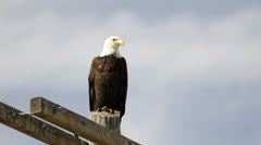 Bald eagle against blue sky Stock Footage