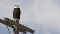 Bald Eagle sits on pole against blue sky Stock Footage