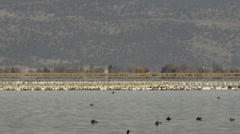 Hundreds of snow geese congregate on lake Stock Footage