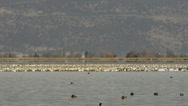 Stock Video Footage of Hundreds of snow geese congregate on lake