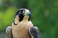 Portrait of peregrine falcon (falco peregrinus) - stock photo
