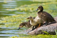 Ducklings drinking from the lake Stock Photos