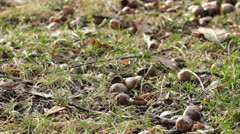 Acorns on forest floor Stock Footage