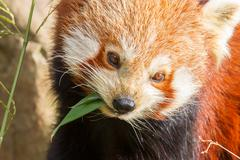 The red panda, firefox or lesser panda Stock Photos