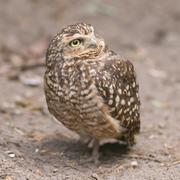 burrowing owl (athene cunicularia) in captivity - stock photo