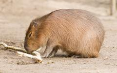 Capybara (hydrochoerus hydrochaeris) sitting in the sand Stock Photos