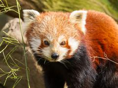 The red panda, firefox or lesser panda Stock Photos