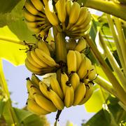 A bunch of bananas on the tree. square composition. Stock Photos