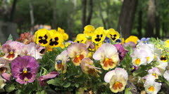 Multicolored pansies Stock Footage