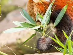 the red panda, firefox or lesser panda - stock photo