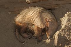 sleeping armadillo (chaetophractus villosus) - stock photo