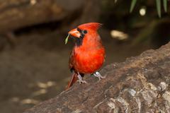 Northern cardinal in captivity Stock Photos