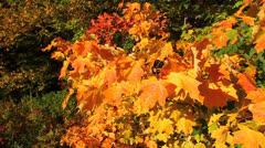 Autumn Leaves in Breeze Stock Footage