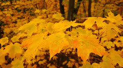 Yellow Autumn Maple Leaves Stock Footage