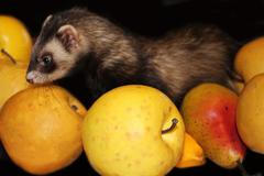 Ferret playing Stock Photos