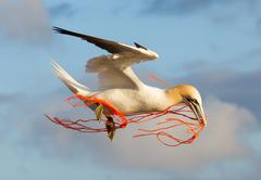 a gannet flying - stock photo