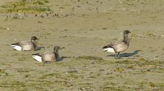 Three brent geese during lowtide Stock Photos