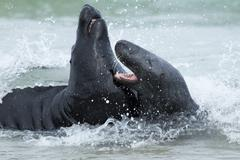 Two fighting grey seals Stock Photos