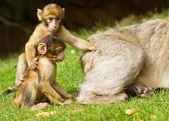 two young apes monkey - stock photo