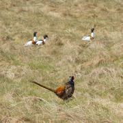 a pheasant with shelducks - stock photo