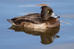 Female tufted duck Stock Photos