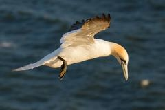 a gannet is flying - stock photo