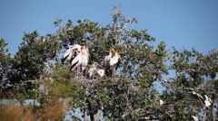 A flock of yellow billed stocks sitting on a tree . Stock Footage