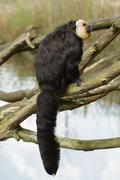 White-faced saki (pithecia pithecia) monkey Stock Photos