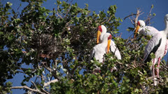 Yellow billed storks Stock Footage