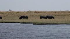 Hippopotamuses eating grass Stock Footage
