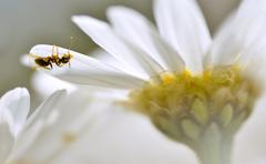 Ant on the petal anthemis flower - stock photo