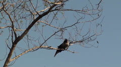 Crow on branch preens feathers Stock Footage