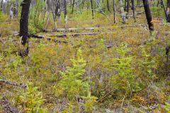 burnt boreal forest - stock photo
