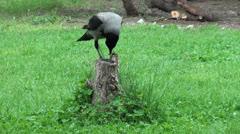 Crow on stub eats bone Stock Footage