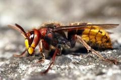 Giant hornet Stock Photos