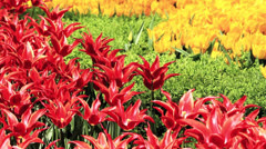 Colorful tulips Stock Footage