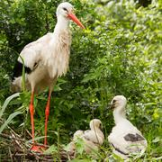 Stork with two chicks Stock Photos
