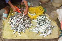 Freshly catch sardines, anchovies Stock Photos